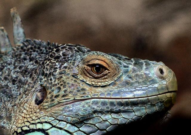 Death Lizard ....