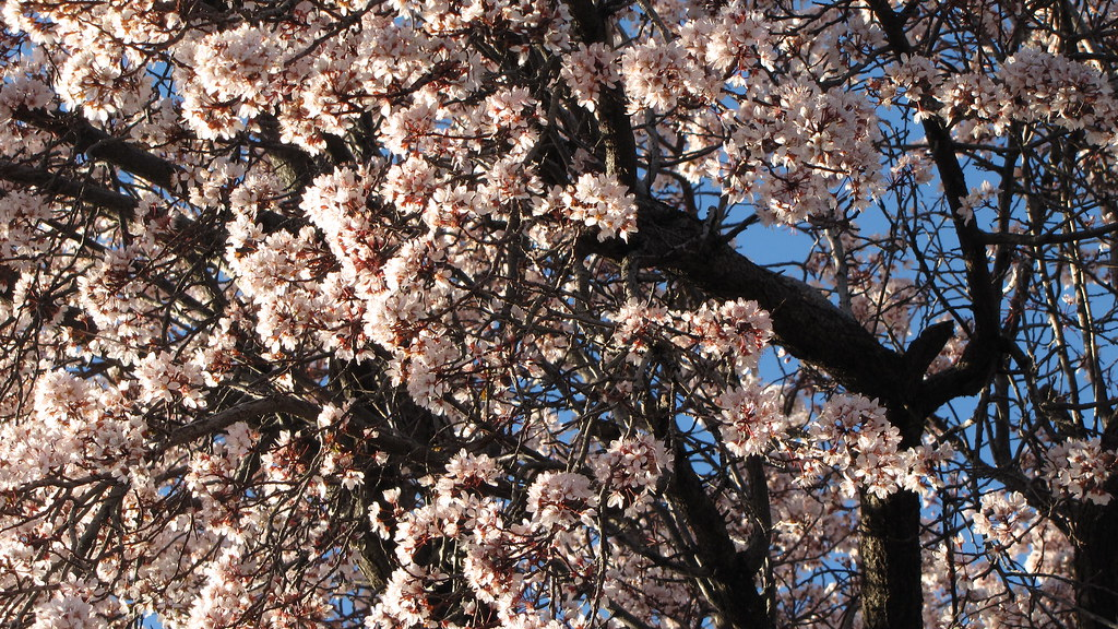 Cherry Blossoms Blooming Away In El Paso Texas February Flickr