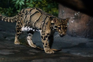 Walking Clouded Leopard | by MrGuilt