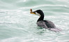 Little shag with a small fish Phalacrocorax melanoleucos, by Maureen Pierre