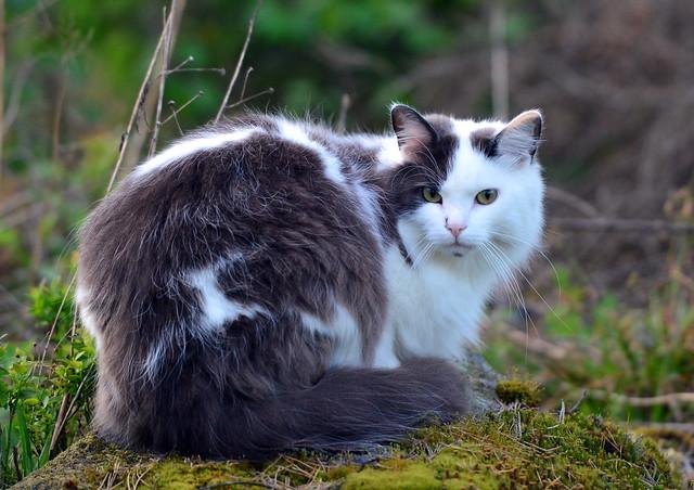 A Norwegian forest cat