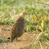 Brown Quail by SillyOldBugger (in and out of internet range)