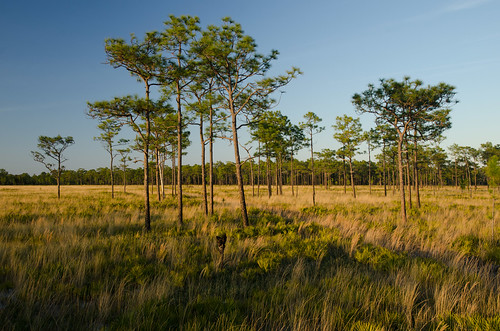 usa florida conservation palmettos habitat kissimmee natureconservancy disneywildernesspreserve wildlifecorridor northerneverglades evergladesheadwaters kissimmeechainoflakes flattwoods fwceflickr