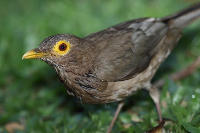 spectacled thrush