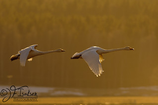 Whopper Swans 2011 (1 of 9)   by JFIsaksen