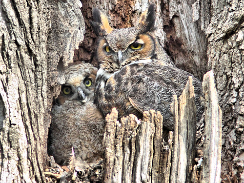 Great Horned Owl and Owlet HDR 02-20160506