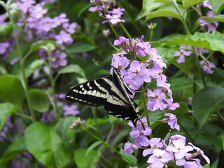 may 26 2016 14:57 - Western Tiger Swallowtail Butterfly in Sweet Rocket   by boonibarb