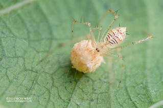 Comb-footed spider (cf. Meotipa sp.) - DSC_1319