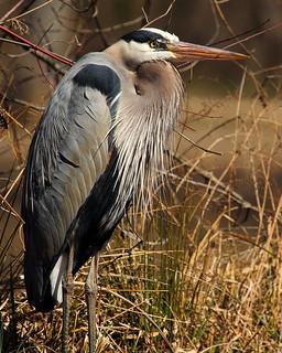 Great Blue Heron at Kenilworth 4 | by Mr.TinDC