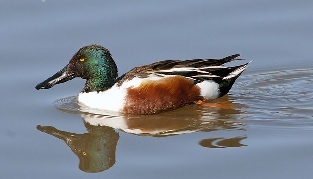 Mr. Shoveler in all his splendor