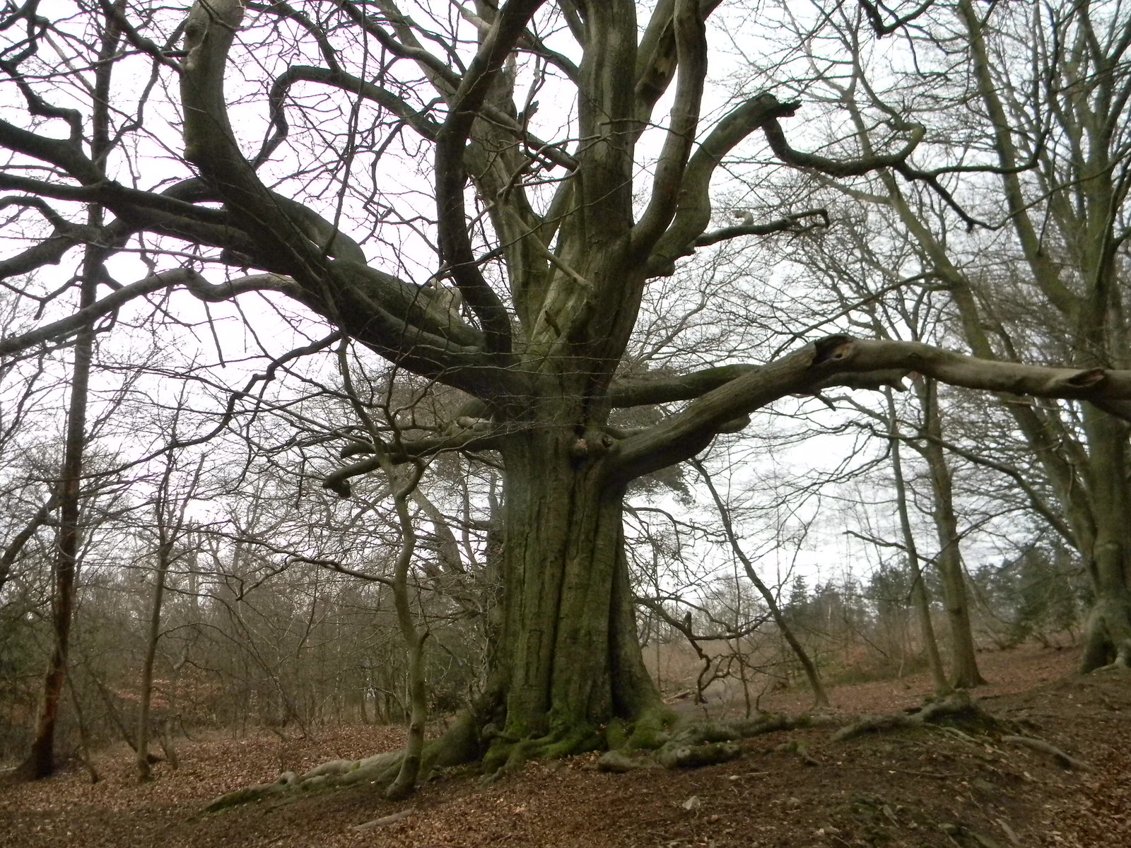 Congratulatory tree (for having done the steep climb) Holmwood to Gomshall