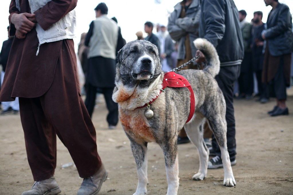 Dog fights, Paghman, Afghanistan | A contestant  December 20… | Flickr