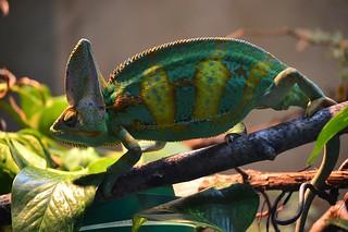 Chameleon | by Shehan Obeysekera