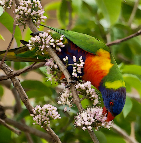 bird parrot rainbowlorikeet australianbirds australianparrot