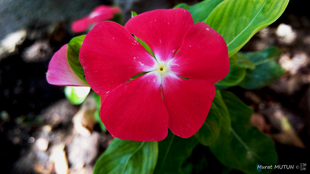 Catharanthus Roseus - Pervane Çiçeği