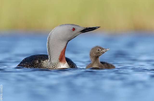 Red-throated Diver (Lómur)-103