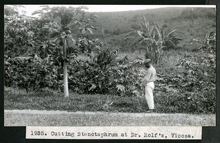 Mary Agnes Chase's Field Work in Brazil, Image No. 1935. Cutting Stenotaphrum at Dr. Rolf's, Vicosa.