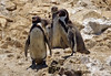 Humbolt Penguins  by Peppar Photos