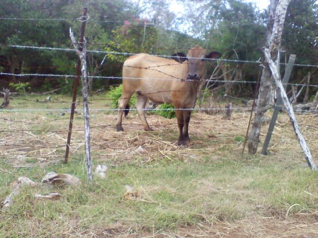 Saipanese Cow