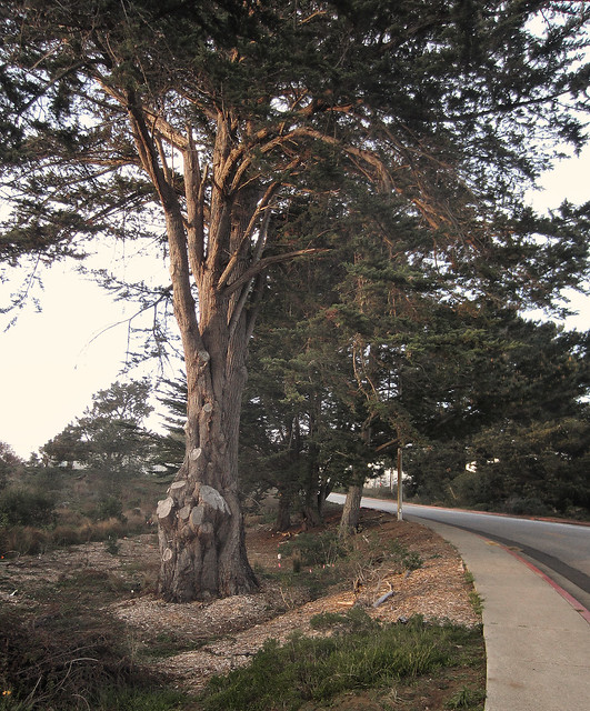 amputree on Wedemeyer St; The Presidio, San Francisco (2012)