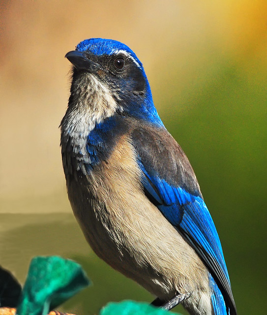 Western Scrub-Jay At His Bath
