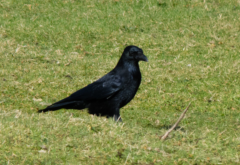 Crow on the lookout