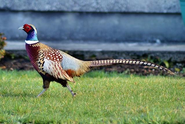 Pheasant. Nikon D3100. DSC_0505