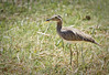 Double-striped Thick-knee (Burhinus bistriatus) - Solimar - Costa Rica by birdingbilly