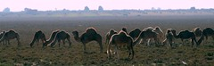 it is a truth universally acknowledged that a herd of camels in possession of salzgrass must be in want of a nadelöhr