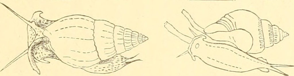 Image From Page 276 Of The Conchological Magazine 1907