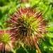 2014-06-07 Acaena ovalifolia - BG Teplice
