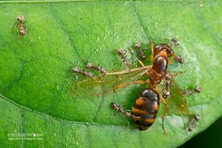 Ants (Dolichoderus thoracicus) - ESC_0030