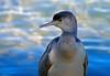 Spotted shag juvenile (cormorant) - Phalacrocorax punctatus by Maureen Pierre
