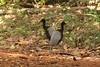 Grey-winged trumpeters Iwokrama Forest in Guyana by inyathi