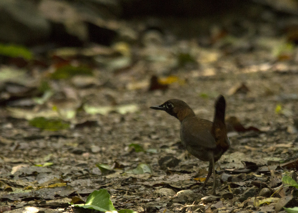 Formicarius analis / Black-faced antthrush