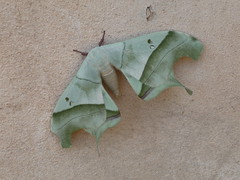 Moth in Chaco