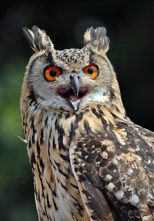 Siberian Turkamanian Eagle Owl - CNP_13581 | by Chris Paul Photography