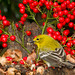 Pine Warbler by agilityfoot