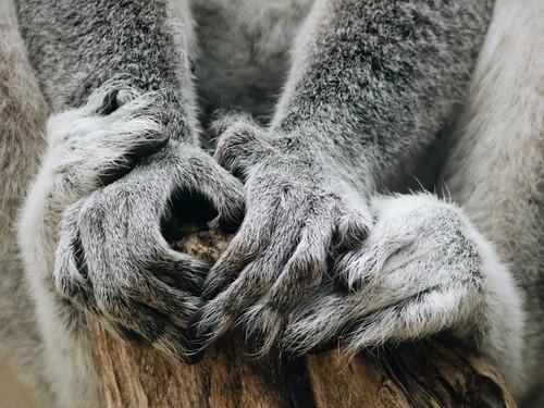 Ring-tailed lemur | by Michal Jeska