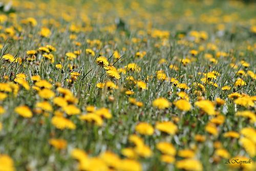 flowers makro çiçek lale