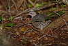 Thicket Tinamou (Crypturellus cinnamomeus) by Dave 2x