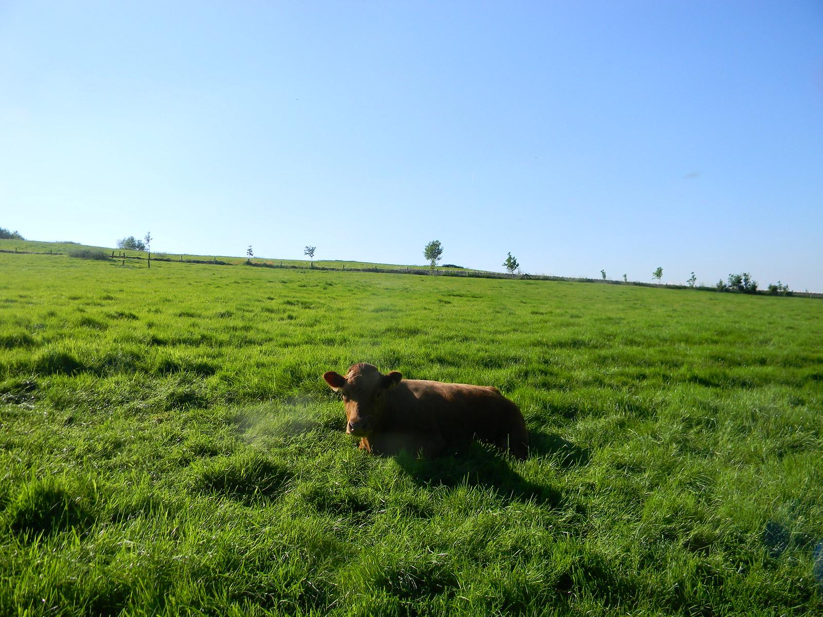 Cow in a field Moreton-in-Marsh Circular