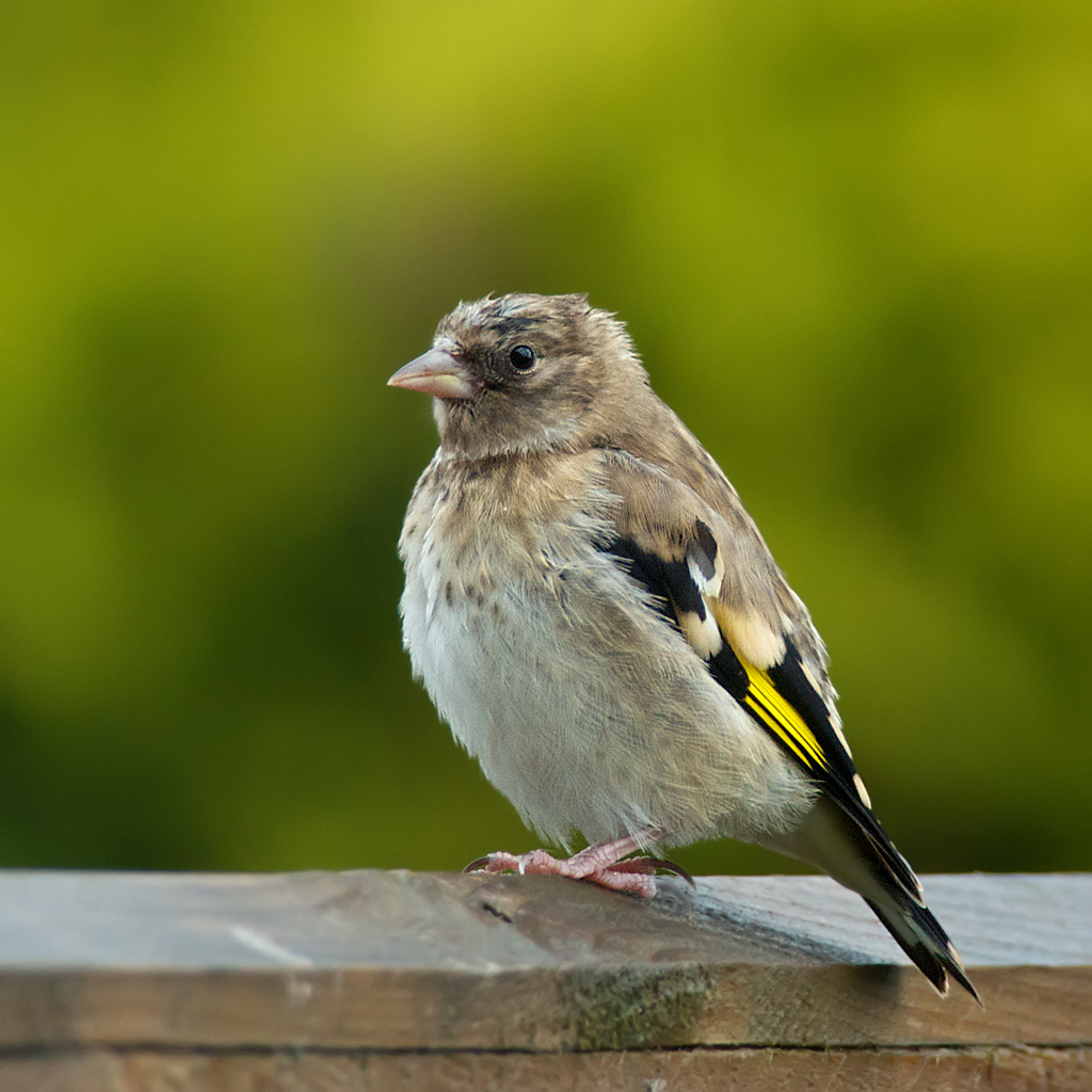 babie's first outing !! (EXPLORED) | a baby goldfinch ...