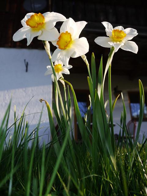 Daffodil Flower Blume Narzisse Osterglocke Spring Frühling