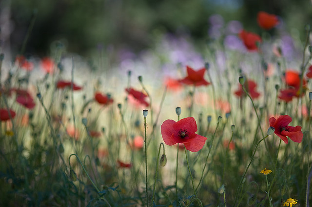 poppies in my way
