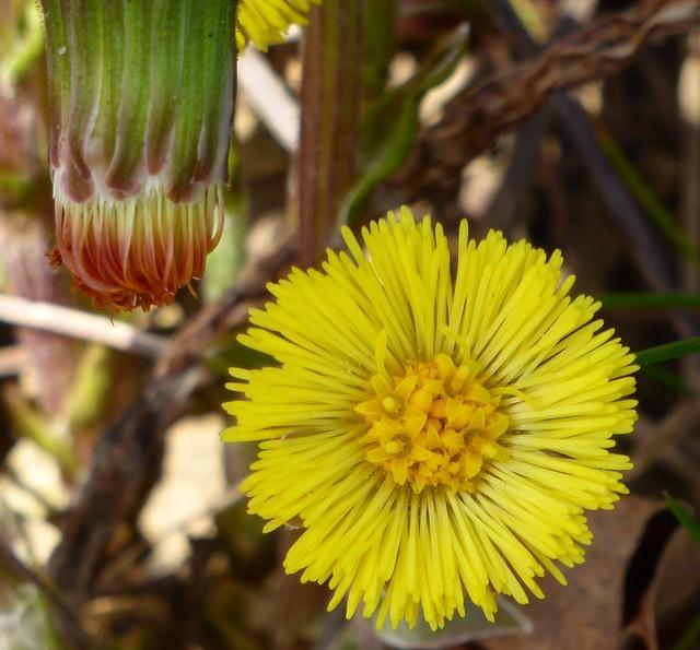 Huflattich - Tussilago farfara -  blühend und verblüht