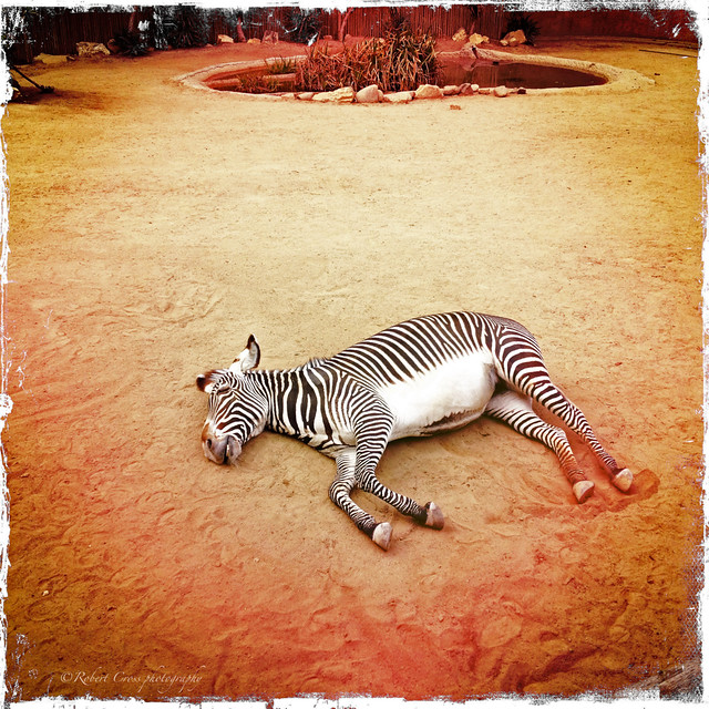 Shh...the zebra is sleeping!