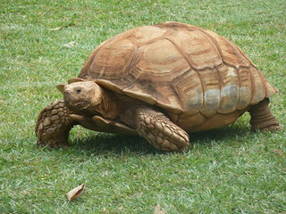 Geochelone sulcata | by Paul J. Morris