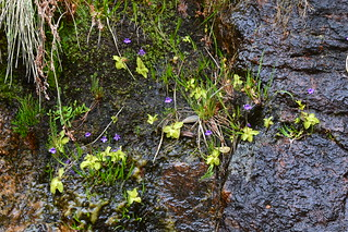 Pinguicula Vulgaris growing together | by Christophe Maerten