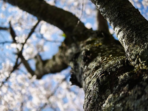 sunset spring april 桜 sakura shizuoka 2014 春 静岡 shizunami gx7 勝間田川 katsumatagawa leicadgsummilux25f14 静波